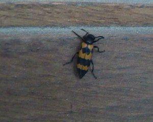""""""" Suis-je un scarabée ? \ Am I a beetle? """""""