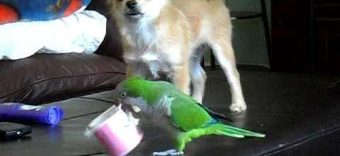 Le chien, le perroquet et le pot de yaourt