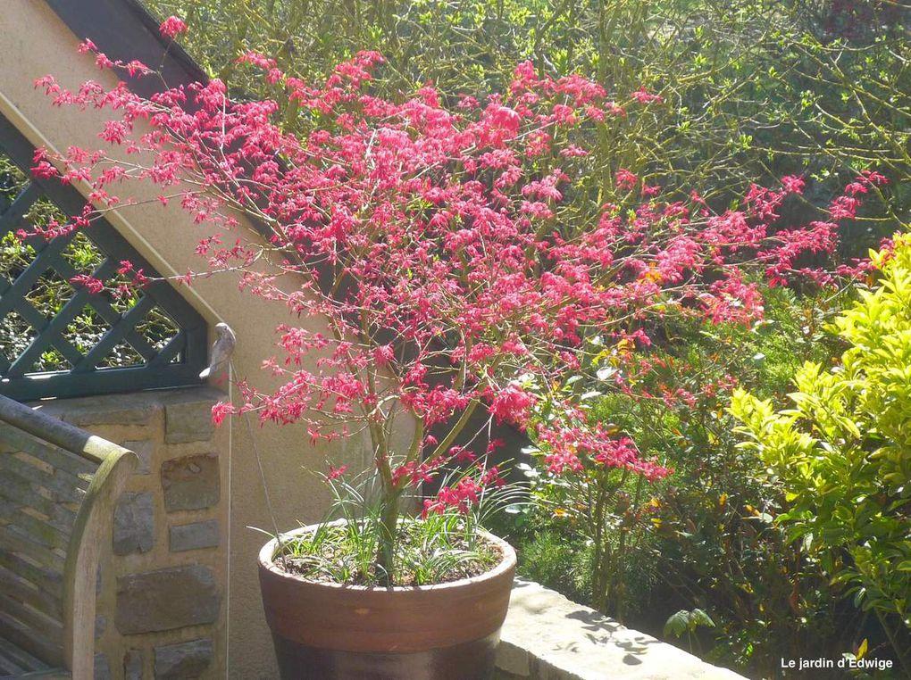 Érable du Japon 'Deshojo' - Acer palmatum 'Deshojo'