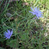Cicoria o Cichorium intybus piante fitoterapiche