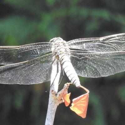 Une libellule dans mon jardin...