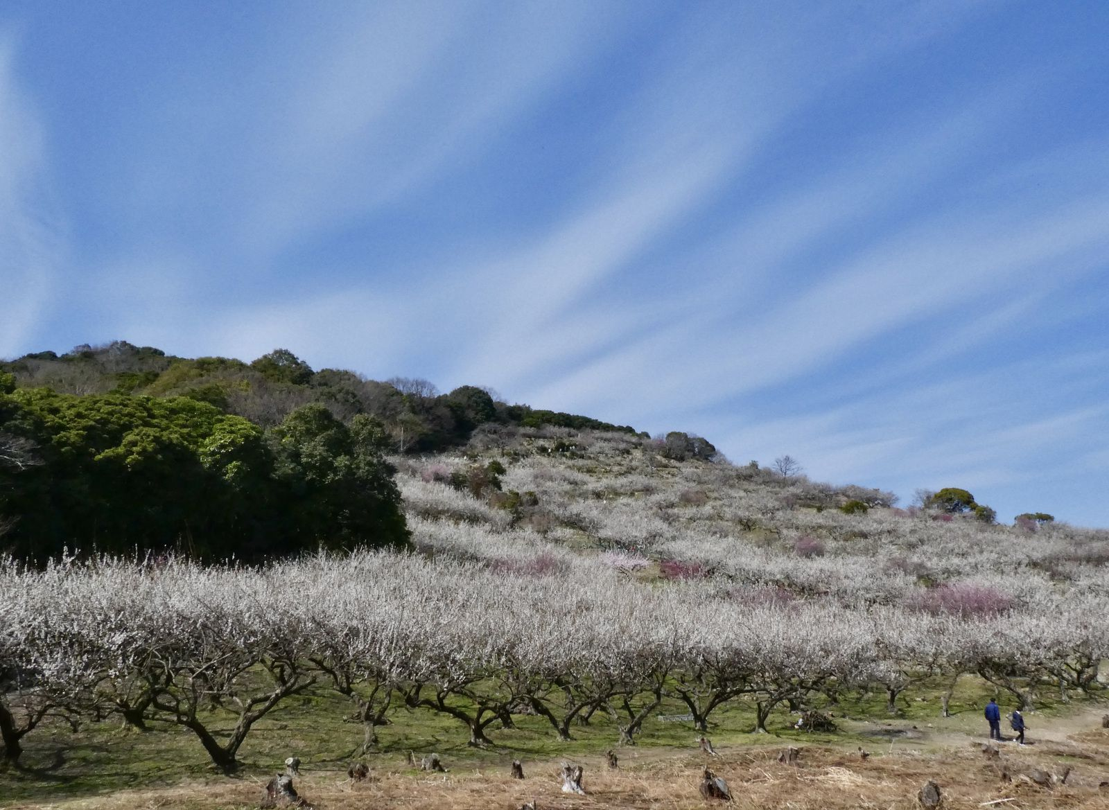 Préf. de Hyôgo: Les 8000 pruniers Umé 梅 du mont Ayabe