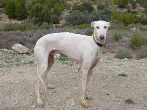 P. Nares galgo de 1 an a l'adoption chez sos chiens galgos