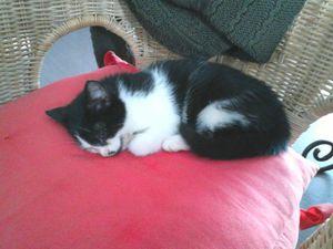 Jules, chaton mâle noir et blanc, à l'adoption -> adopté