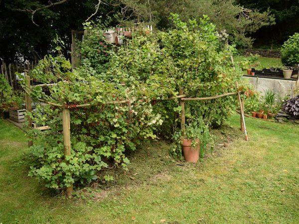 Du coup, j'ai repéré une belle tache de fraises des bois sous les groseillers. Je vais la laisser s'étendre !