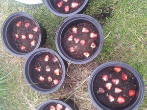 essai de plan de fraisiers...
