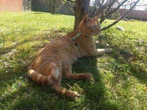 Abricot, chat roux de 5 ans, à l'adoption -> adopté