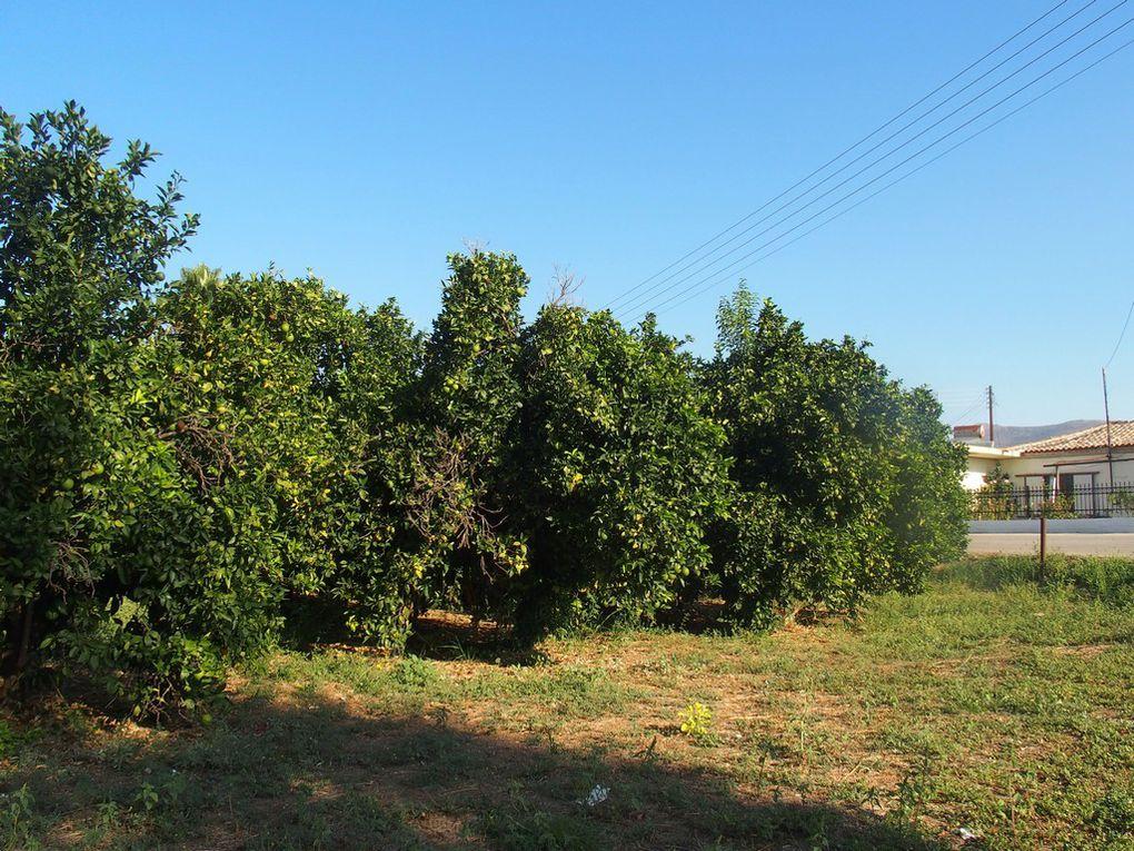 des plantations d'orangers ...