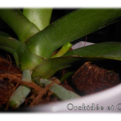 Phalaenopsis n°11
