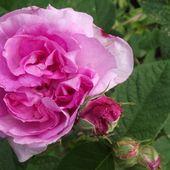 Rose de la Maître-Ecole