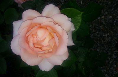 Rose rose et son parfum sublime