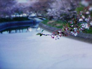 Début avril : La floraison des cerisiers Sakura 桜