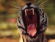 Sauvez les tigres !