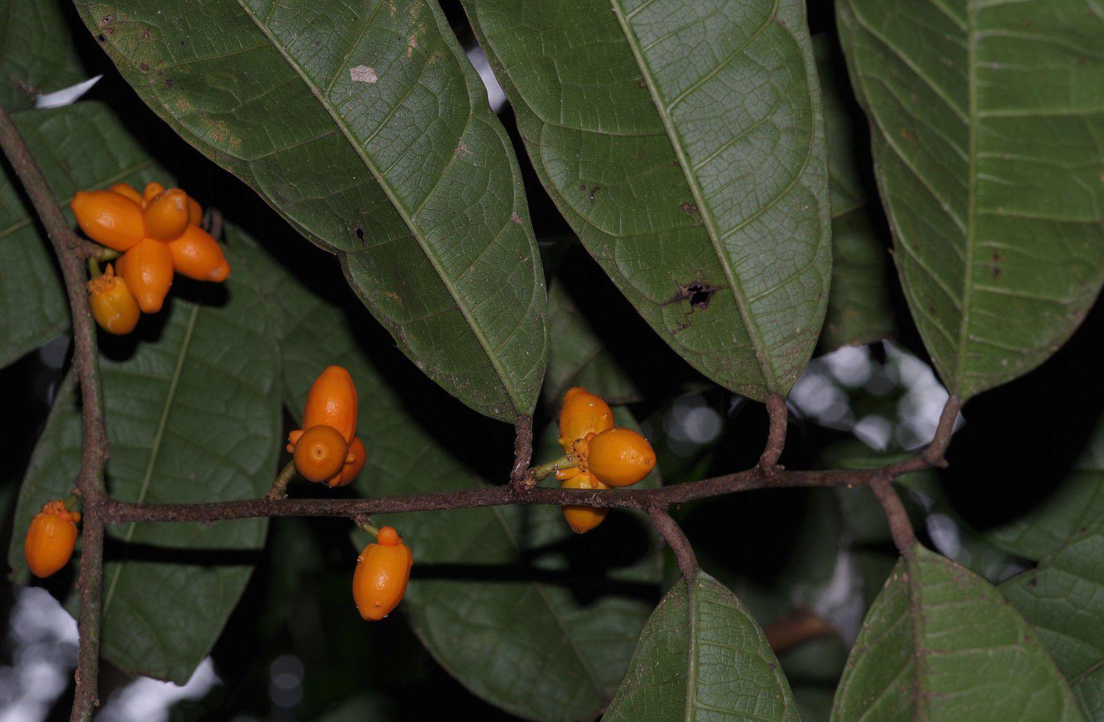 Clarisia ilicifolia
