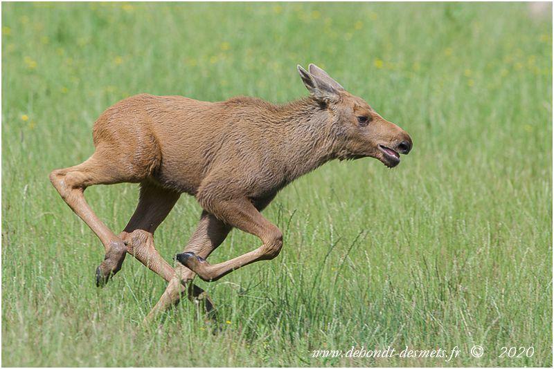 Les petits élans sont brun-roux uni, contrairement aux autres petits cervidés qui sont tachetés.