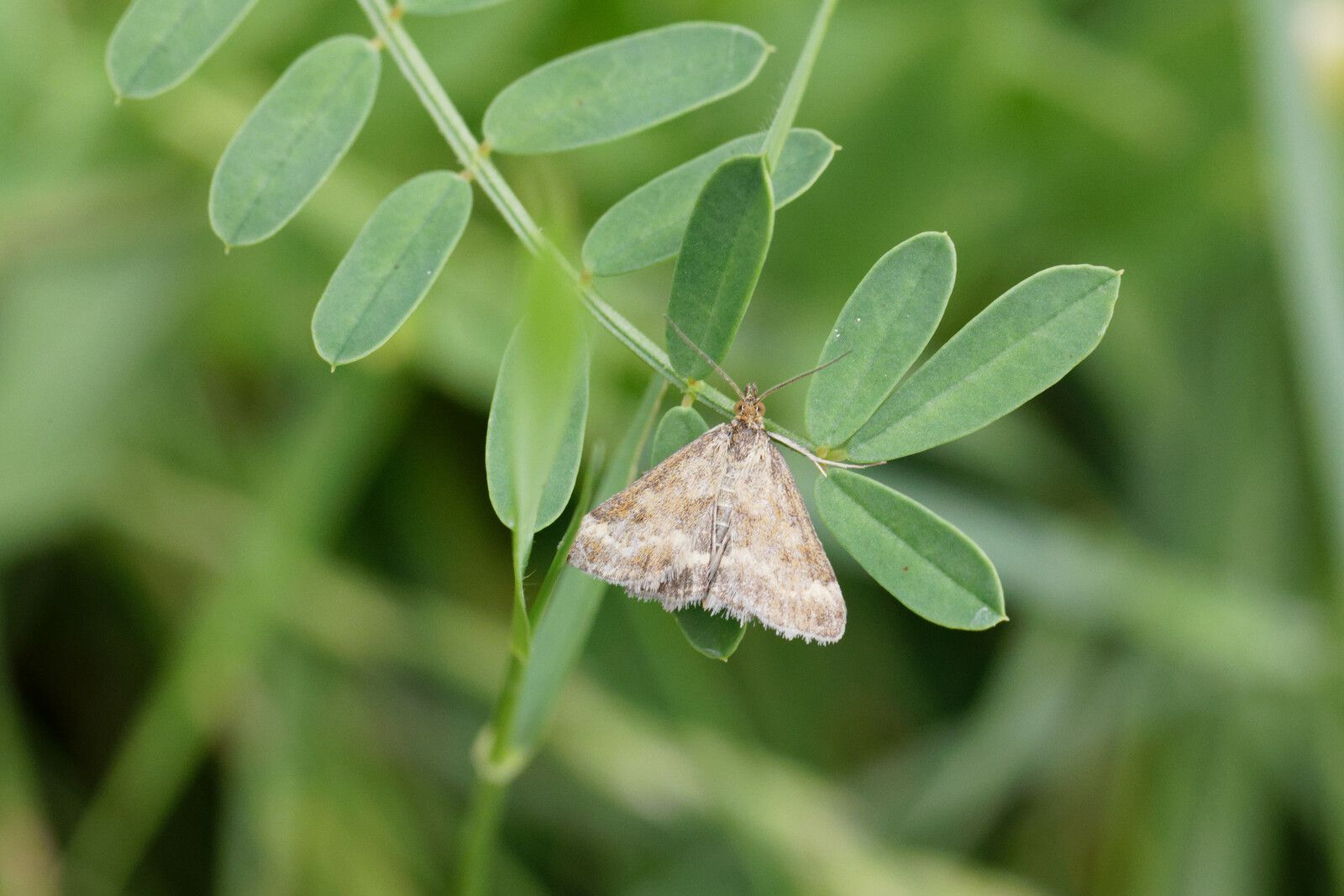 Pyrale sp