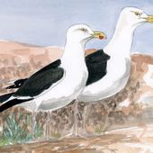 Goéland marin - Larus marinus - Great Black-backed Gull