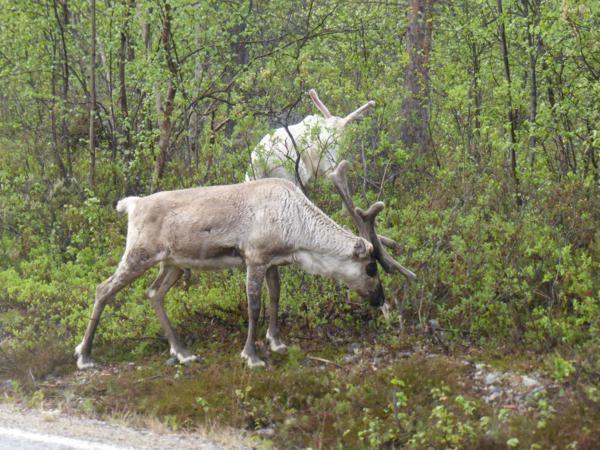 ...avec quelques arrêts pour photographier des rennes qui n'hésitent pas à traverser la route...