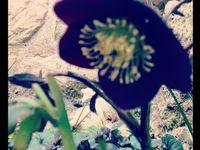 Helleborus niger (Rose de Noël) et helleborus orientalis blue lady