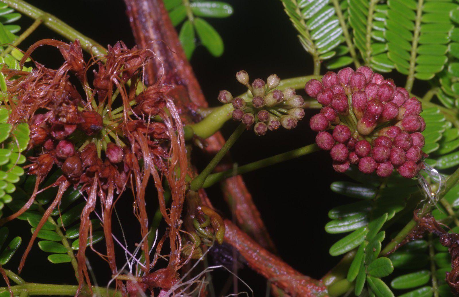 Balizia pedicellaris (bois macaque, cèdre marécage)