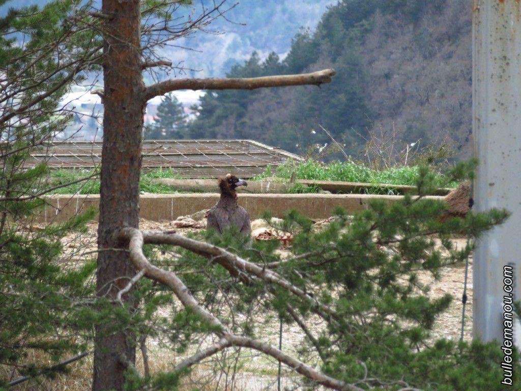 Un vautour (moine juvénile ?) posé au sol dans l'aire de nourrissage.