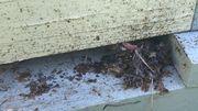 Le chlorprophame :  toxique pour les abeilles ?