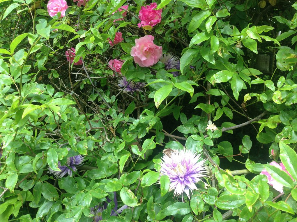 Rose 'Pink Symphonie' et clématite