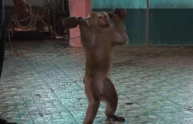 Images déchirantes d'un singe «forcé» de soulever des poids et de faire des pressions par son entraîneur (photos / vidéo)