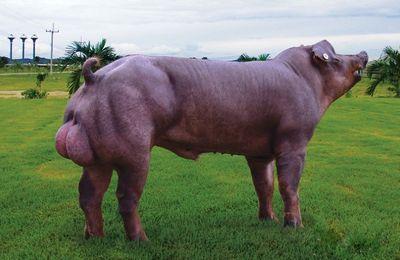 Les porcs en Thaïlande