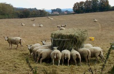 Mais pourquoi donc couper la queue des moutons ?