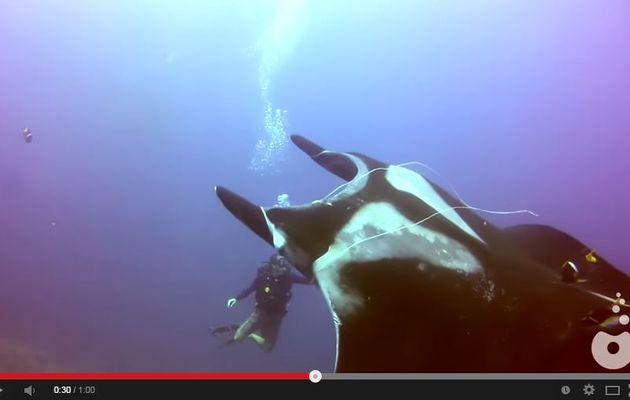VIDEO - un plongeur au secours d'une Raie Manta
