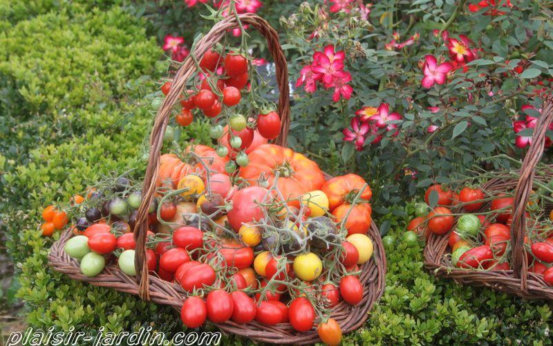 Les tomates à gros fruits testées en 2013