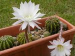Merveilleuses fleurs de cactus