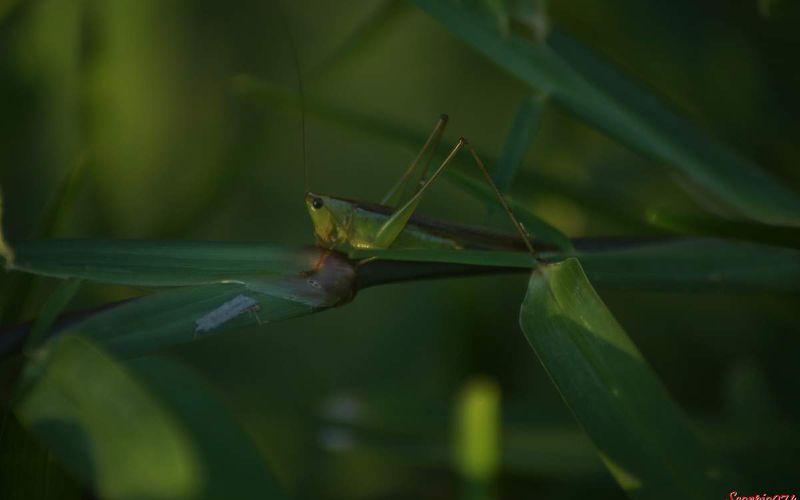 Une sauterelle Conocephalus sp.