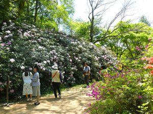 2) Buisson de rhododendrons, fleur de saison, Shakunagé シャクナゲ