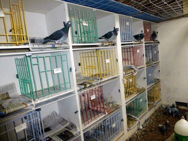 Le colombier des veufs et son meilleur pigeon de fond logé dans le colombier d'Enzo
