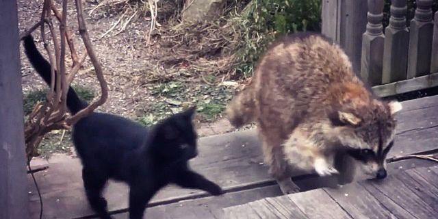 Elle nourrit un raton laveur aveugle, un jour il lui ramène deux cadeaux qui vont bouleverser sa vie