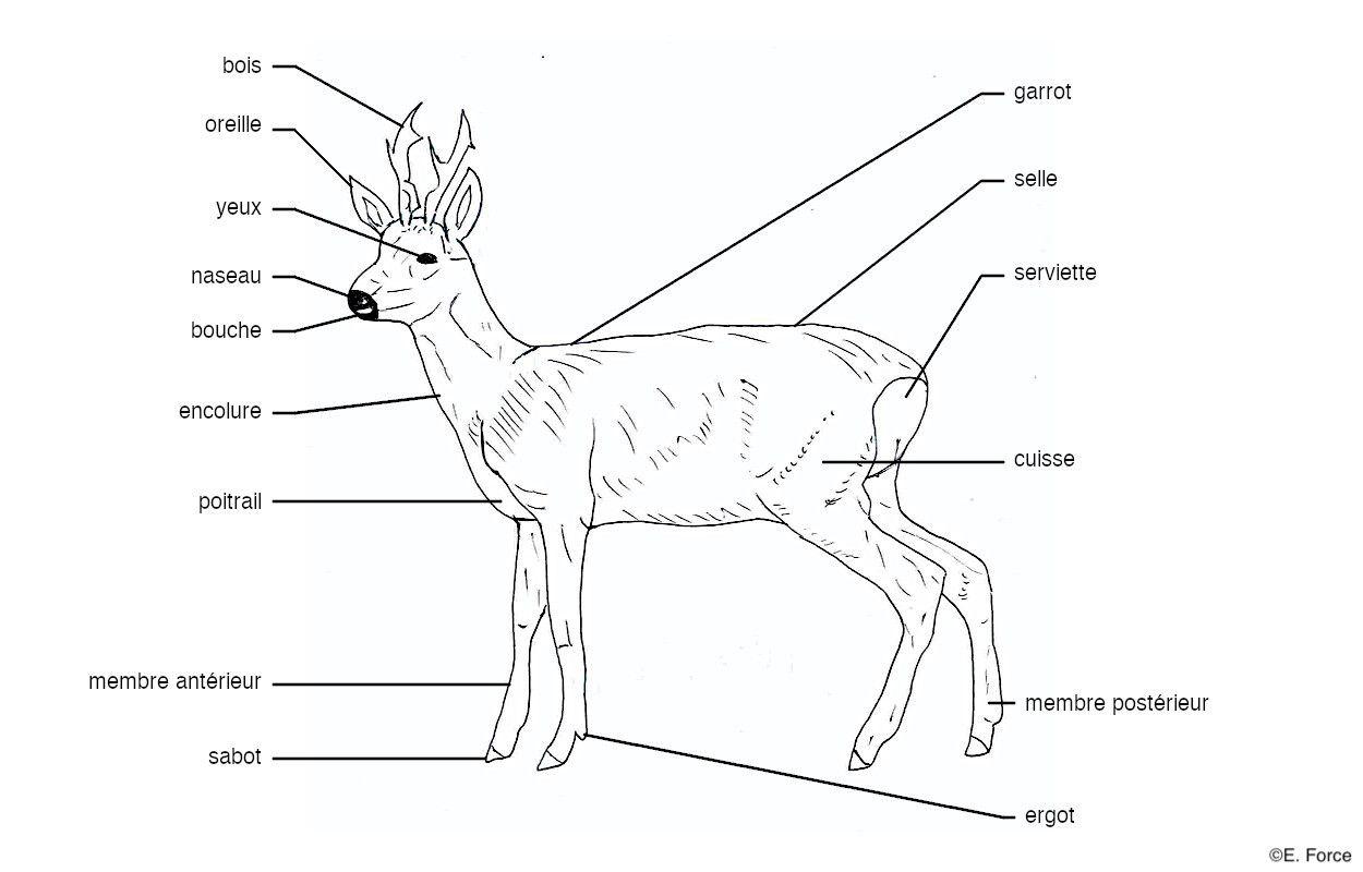 Anatomie externe d'un Chevreuil en vue latérale (illustration : E. Force).