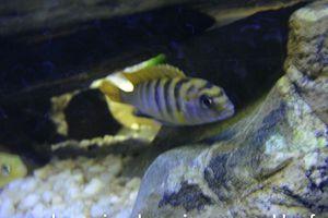 Labidochromis Hongi Juvéniles