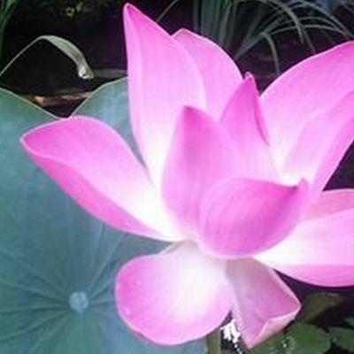 Blog sur Bali - Balibalik -Les fleurs et le Divin  à Bali - Lotus- Ylang ylang - Bunga sepatu - Frangipanier - Jepun - Bunga dan Ilahi di Bali