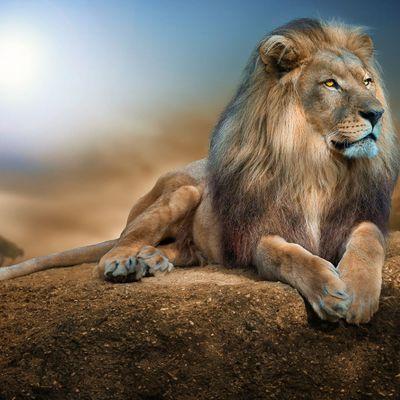 Lion - Félin - Crinière - Photographie - Wallpaper - Free