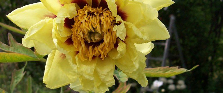 Pfingstrosenblüte am 20. Juli