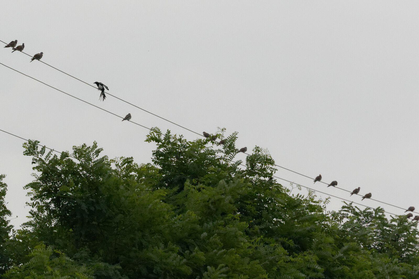 580 - Petites scènes aviaires en Campagne, Tourterelles, Verderolles... : 05/08/2021