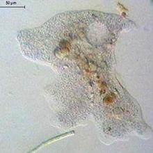 Mimivirus (la suite) : un pathogène généraliste?
