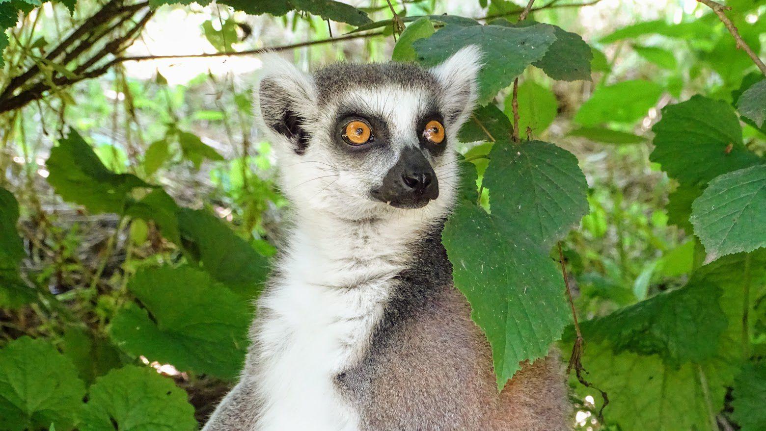 Maki catta (Lemur catta, aussi appelé Maki mococo, maki à queue annelée ou encore lémur à queue annelée). Photo : JLS (Cliquez pour agrandir)