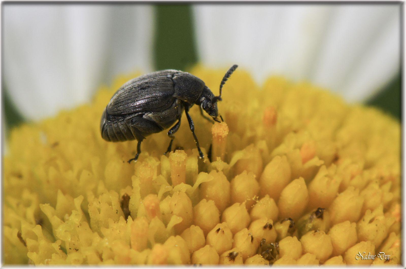 Les bruches (Bruchinae) - Famille des Chrysomèles - Coléoptère - (Sarthe)