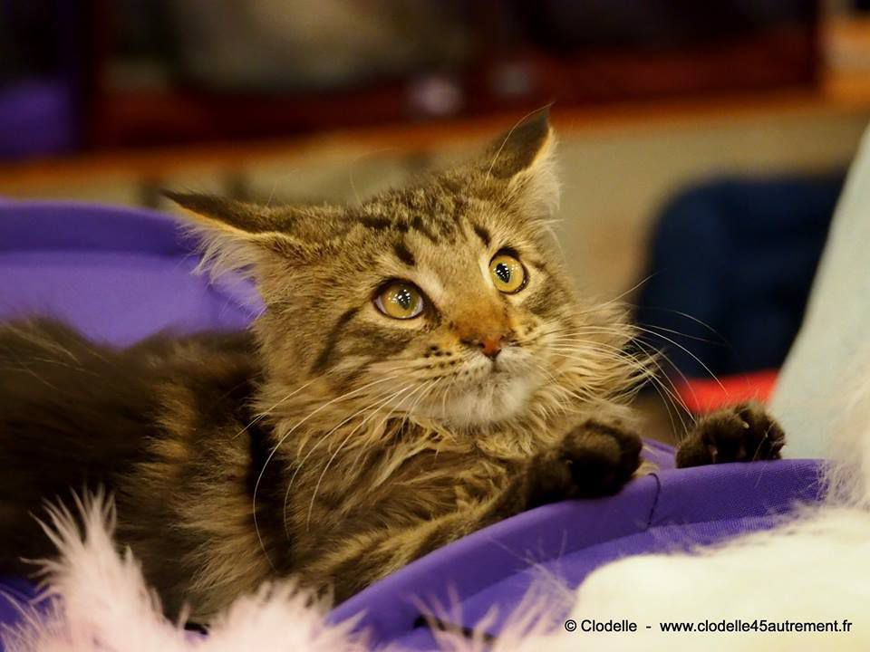 Photos du SALON INTERNATIONAL DU CHAT D'ORLEANS les 4 et 5 novembre 2017