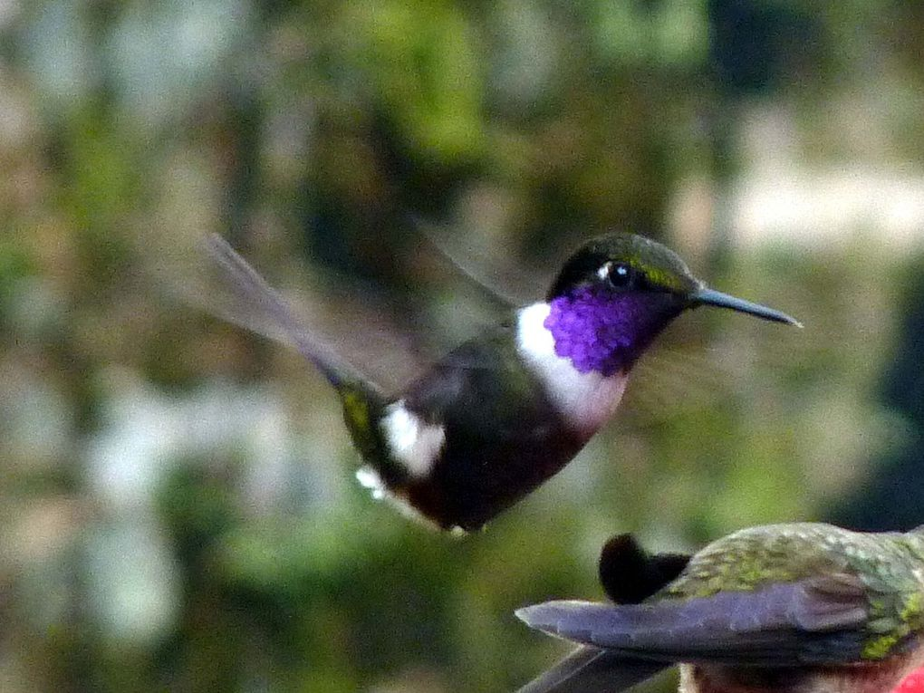 Colibri de Mitchell - Calliphlox mitchellii (Equateur)