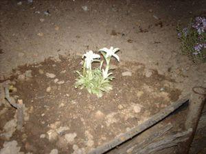 Le pied d'origine à la plantation puis en hivernage dans les cailloux