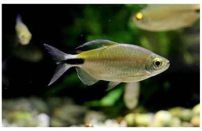 faune : Actinoptérygiens : characiformes (piranha, tetra ...)